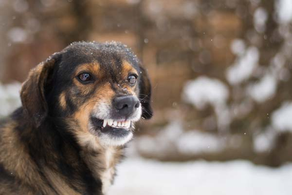 Dog with teeth showing